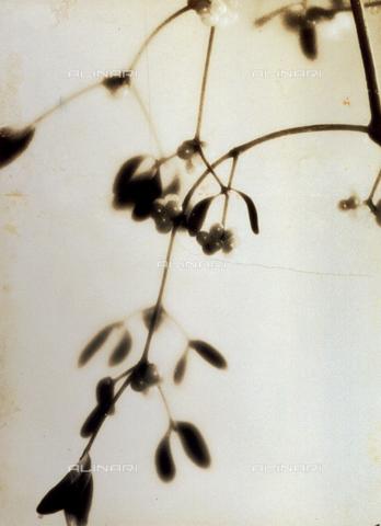 FVQ-F-045728-0000 - Rametto di vischio - Data dello scatto: 1935 - Archivi Alinari, Firenze