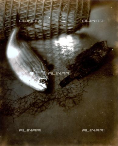 FVQ-F-045758-0000 - Pictorialist still life with fish and nets - Data dello scatto: 1934 - Archivi Alinari, Firenze