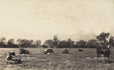 FVQ-F-050200-0000 - Mucche al pascolo in Olanda - Data dello scatto: 1855 ca. - Raccolte Museali Fratelli Alinari (RMFA), Firenze