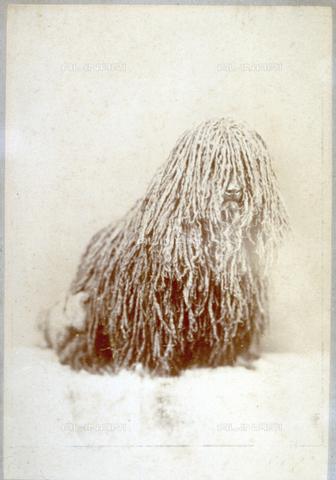 FVQ-F-055031-0000 - Cane barbone dal pelo cordato visto frontalmente - Data dello scatto: 12/1893 - Archivi Alinari, Firenze