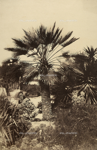 FVQ-F-141090-0000 - Palm tree in the park of Pincio in Rome. - Data dello scatto: 1852 - 1854 - Archivi Alinari, Firenze