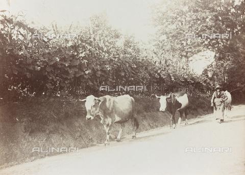 FVQ-F-141456-0000 - Una contadina con una mandria di mucche in una strada di campagna - Data dello scatto: 1920-1930 - Raccolte Museali Fratelli Alinari (RMFA), Firenze