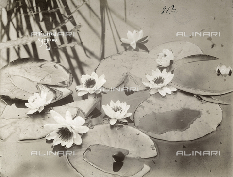 FVQ-F-147539-0000 - Leaves and flowers of nymphaea on water.