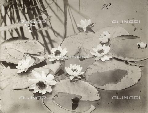 FVQ-F-147539-0000 - Foglie e fiori di ninfea nell'acqua.
