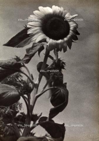 FVQ-F-169876-0000 - Fiore di girasole - Data dello scatto: 1937 - Archivi Alinari, Firenze