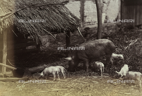 FVQ-F-206298-0000 - Swine with litter - Data dello scatto: 1890 - 1900 ca. - Archivi Alinari, Firenze