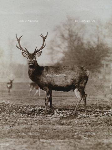 FVQ-F-206301-0000 - Cervo - Data dello scatto: 1890 - 1900 ca. - Archivi Alinari, Firenze