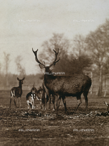 FVQ-F-206302-0000 - Antlered deer; in the background, other smaller deer - Data dello scatto: 1890 - 1900 ca. - Archivi Alinari, Firenze