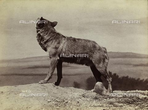 FVQ-F-206303-0000 - Un lupo - Data dello scatto: 1886 - Archivi Alinari, Firenze