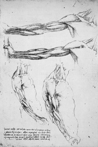 GRC-F-015768-0000 - Muscolatura degli arti superiori, disegno, Leonardo da Vinci (1452-1519) - Granger, NYC /Archivi Alinari