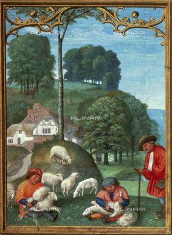 """GRC-F-026344-0000 - Mese di giugno: tosatura delle pecore, miniatura tratta da un """"Libro d'Ore"""" del XVI sec. - Granger, NYC /Archivi Alinari"""