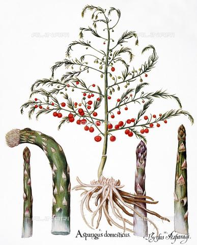 """GRC-F-043686-0000 - Asparagi comuni (Asparagus officinalis) e germogli di asparagi, incisione per il """"Florilegio"""" di Basilio Besler, pubblicato a Norimberga nel 1613 - Granger, NYC /Archivi Alinari"""