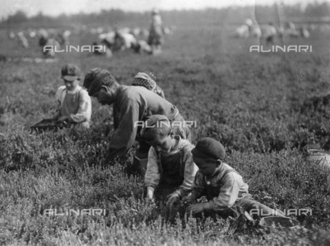GRC-F-106263-0000 - Una famiglia italiana di agricoltori immigrati al lavoro mentre raccoglie le bacche a Brown Mills, New Jersey - Data dello scatto: 29/09/1910 - Granger, NYC /Archivi Alinari