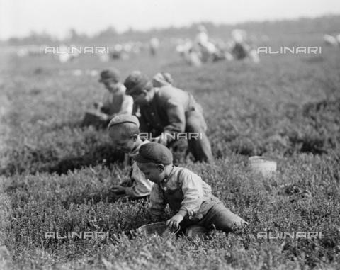 GRC-F-106273-0000 - Una famiglia italiana di agricoltori immigrati al lavoro mentre raccoglie le bacche a Brown Mills, New Jersey - Data dello scatto: 29/09/1910 - Granger, NYC /Archivi Alinari
