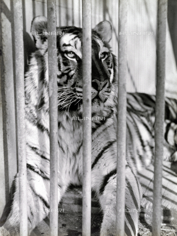 GRQ-F-004479-0000 - Close-up of a tiger in a cage at the zoo in Rome