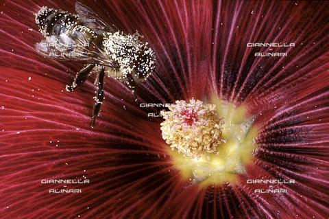 GVA-F-016041-0000 - Polline e ape