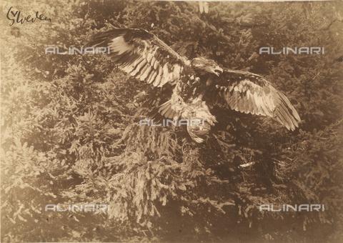 GWA-F-000547-0000 - Falcon - Data dello scatto: 1900 ca. - Archivi Alinari, Firenze
