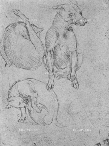 "HIP-S-000264-7701 - Study of dog and cat (Inv. 1895-9-15-477), drawing by Leonardo da Vinci (1452-1519) preserved in the British Museum of London, from ""The Drawings of Leonardo da Vinci"" (New York, 1945) - The Print Collector / Heritage Images /Alinari Archives, Florence"