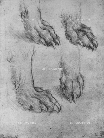 "HIP-S-000264-7718 - Study of dog or wolf legs (Inv. D 5189v), drawing by Leonardo da Vinci (1452-1519) preserved in the National Gallery of Edinburgh, taken from ""The Drawings of Leonardo da Vinci"" (New York, 1945) - The Print Collector / Heritage Images /Alinari Archives, Florence"