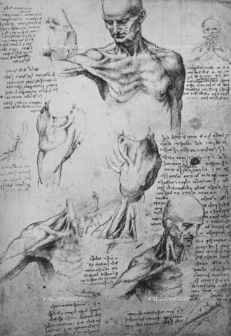 "HIP-S-000264-7862 - Anatomical studies of shoulder musculature (RL 19003r), drawing by Leonardo da Vinci (1452-1519) preserved in the Royal Library of Windsor Castle, from ""The Drawings of Leonardo da Vinci"" (New York, 1945) - The Print Collector / Heritage Images /Alinari Archives, Florence"
