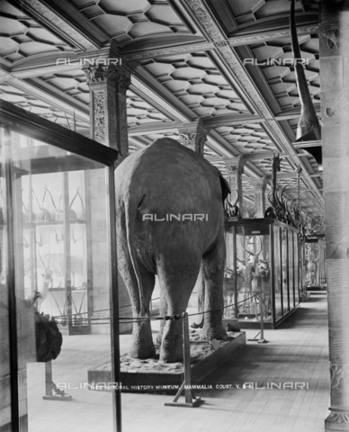 HIP-S-000266-7846 - Natiural History Museum, London, 1870-1900.. An interior view of Mammalia Court looking down Stags' Corridor and with an elephant in the foreground - Historic England Archive / Heritage Images /Alinari Archives, Florence