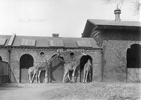 HIP-S-000266-7869 - Giraffe House, Zoological Gardens, Regent's Park, London, 1912. Built in 1836-1837 by Decimus Burton, the Giraffe House is still in use today - Data dello scatto: 1912 - Historic England Archive / Heritage Images /Alinari Archives, Florence