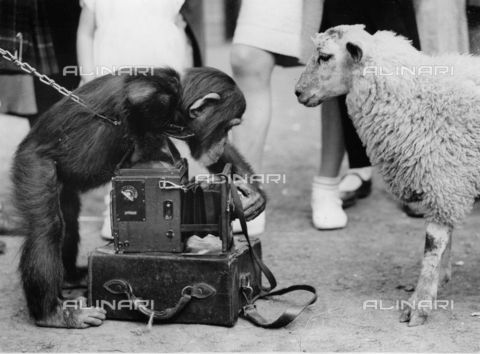 IMA-F-551179-0000 - The chimpanzee George tries to photograph Larry the Lamb in front of children at London Zoo - Data dello scatto: 1930 ca. - Austrian Archives / Imagno/Alinari Archives