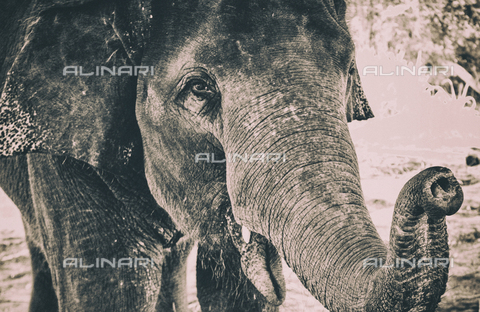 LCA-F-005030-0000 - Elephant - Quint Lox / Liszt Collection/Alinari Archives