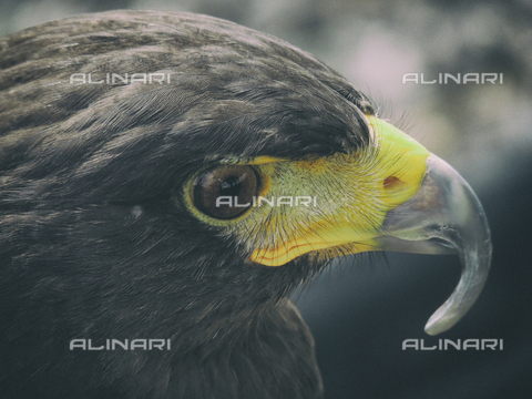 LCA-F-005046-0000 - Close-up of a bird of prey - Quint Lox / Liszt Collection/Alinari Archives