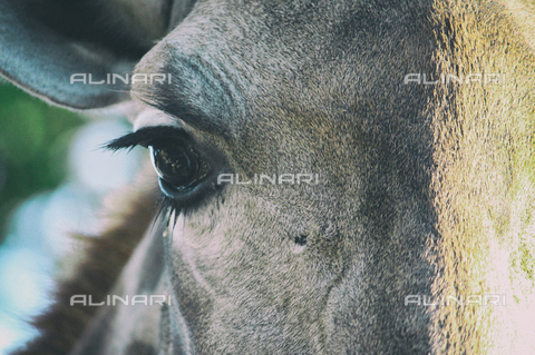 LCA-F-005048-0000 - Close-up of a horse - Quint Lox / Liszt Collection/Alinari Archives