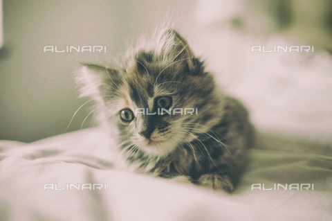 LCA-F-005058-0000 - Cucciolo di gatto - Liszt Collection/Archivi Alinari, Quint Lox
