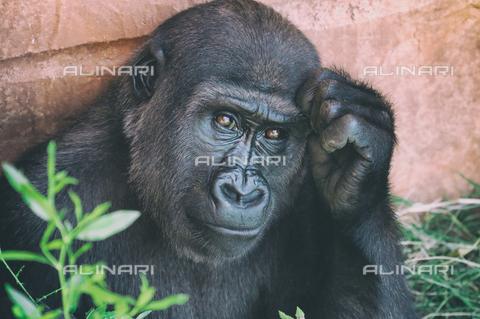 LCA-F-005060-0000 - Gorilla - Liszt Collection/Archivi Alinari, Quint Lox