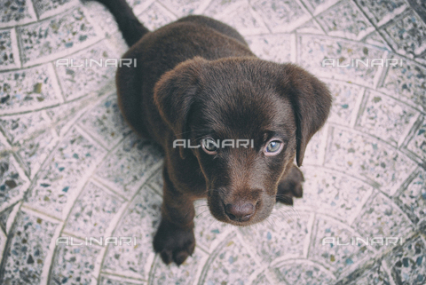 LCA-F-005078-0000 - Cucciolo di labrador - Quint Lox / Liszt Collection/Archivi Alinari
