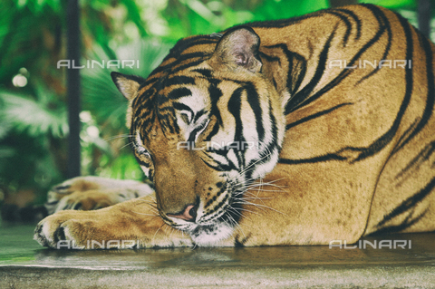 LCA-F-005093-0000 - Tigre che dorme - Quint Lox / Liszt Collection/Archivi Alinari