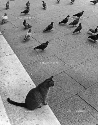 LFA-F-000138-0000 - A cat with a group of pigeons, Venice