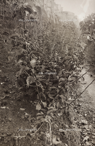 LVQ-L-000156-0004 - Provincial Department of Agriculture of Macerata - Dr. Gregorio Fabbri - The Orchard - School of Camerino in its first six years of life (1923-1928); book published by Tipografia Senesi: double apple cords, Calvilla Bianca variety - Date of photography: 1928 - Fratelli Alinari Museum Collections, Florence