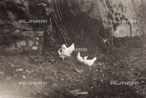 LVQ-L-000156-0005 - Provincial Department of Agriculture of Macerata - Dr. Gregorio Fabbri - The Orchard - School of Camerino in its first six years of life (1923-1928); book published by Tipografia Senesi: hens of white Italian breed - Date of photography: 1923-1928 - Fratelli Alinari Museum Collections, Florence