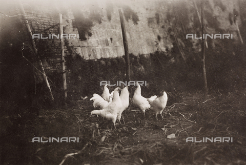 LVQ-L-000156-0006 - Provincial Department of Agriculture of Macerata - Dr. Gregorio Fabbri - The Orchard - School of Camerino in its first six years of life (1923-1928); book published by Tipografia Senesi: hens of white Italian breed - Date of photography: 1923-1928 - Fratelli Alinari Museum Collections, Florence