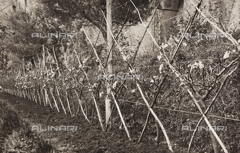 LVQ-L-000156-0010 - Provincial Department of Agriculture of Macerata - Dr. Gregorio Fabbri - The Orchard - School of Camerino in its first six years of life (1923-1928); book published by Tipografia Senesi: hedge of pear trees of 5 years, Spadona variety - Date of photography: 1928 - Fratelli Alinari Museum Collections, Florence