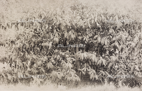 LVQ-L-000156-0013 - Provincial Department of Agriculture of Macerata - Dr. Gregorio Fabbri - The Orchard - School of Camerino in its first six years of life (1923-1928); book published by Tipografia Senesi: peach of 4 years, Trionfo variety - Date of photography: 1928 - Fratelli Alinari Museum Collections, Florence