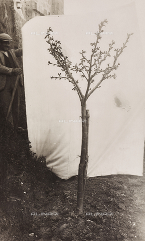 LVQ-L-000156-0015 - Provincial Department of Agriculture of Macerata - Dr. Gregorio Fabbri - The Orchard - School of Camerino in its first six years of life (1923-1928); book published by Tipografia Senesi: cherry tree of 5 years, Grossa variety of Pistoia - Date of photography: 1928 - Fratelli Alinari Museum Collections, Florence