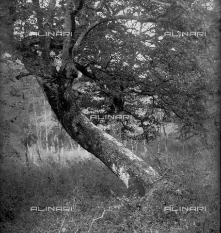 MFA-S-0SN460-000S - View of a tree in a wood - Data dello scatto: 1900 ca. - Archivi Alinari, Firenze