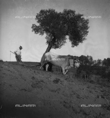 MFA-S-0SN461-000D - A farmer ploughing his field with two oxen - Data dello scatto: 1900 ca. - Archivi Alinari, Firenze
