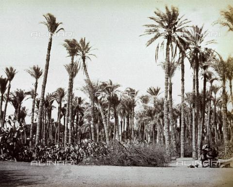 MFC-A-004677-0033 - Veduta di un palmeto in Egitto - Data dello scatto: 1870-1880 ca. - Raccolte Museali Fratelli Alinari (RMFA)-collezione Malandrini, Firenze