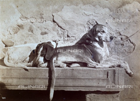 MFC-F-001368-0000 - Dogs curled up on a marble bench - Data dello scatto: 1858-1862 - Archivi Alinari, Firenze