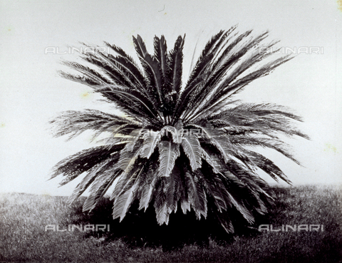 MFC-S-001883-0002 - Example of 'cycas revoluta' in Prince Stigliano-Colonna's garden in Naples - Data dello scatto: 1860-1865 ca. - Archivi Alinari, Firenze