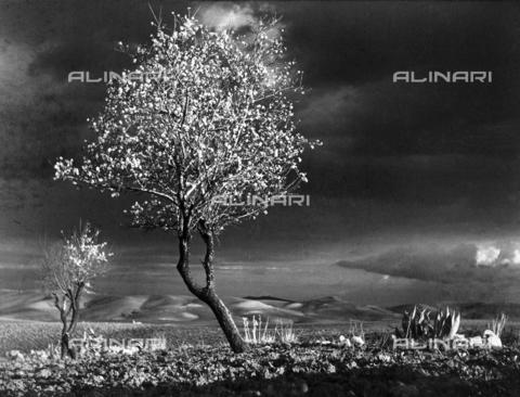 MFV-F-NS0004-0000 - Albero fiorito, Italia meridionale - Data dello scatto: 1950 ca. - Fosco Maraini/Proprietà Gabinetto Vieusseux©Fratelli Alinari