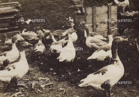 """MLD-F-000280-0000 - """"Le oche di Corvara"""" - Data dello scatto: 1920-30 ca. - Archivi Alinari, Firenze"""