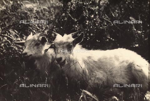 MLD-F-000284-0000 - Caprette - Data dello scatto: 1920-30 ca. - Archivi Alinari, Firenze