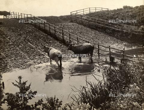 """MLD-F-000323-0000 - """"In the Pontine marshes"""" - Data dello scatto: 1925-30 ca. - Archivi Alinari, Firenze"""